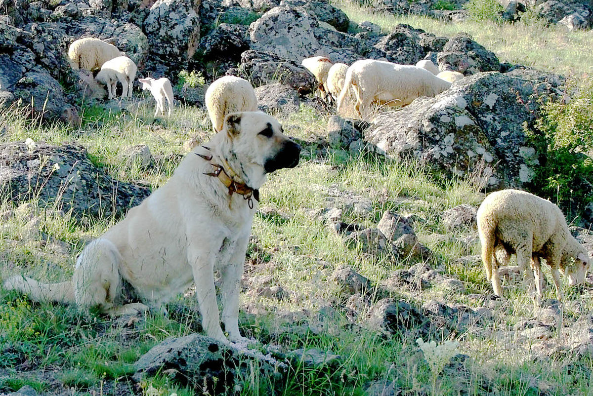 Anatolian Shepherd Dog For Sale In Alaska