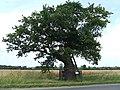 Ketts Oak - geograph.org.uk - 886045.jpg