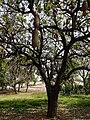 Kigelia africana 20.jpg
