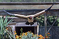 King vulture flying.jpg