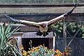 King vulture flying.jpg