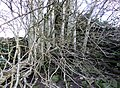 Kirkbride, Enterkinfoot, Nithsdale - Rowan & old altar area.jpg