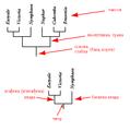 Kladogram objasnjenja.PNG
