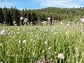 Knautia arvensis in a field.jpg