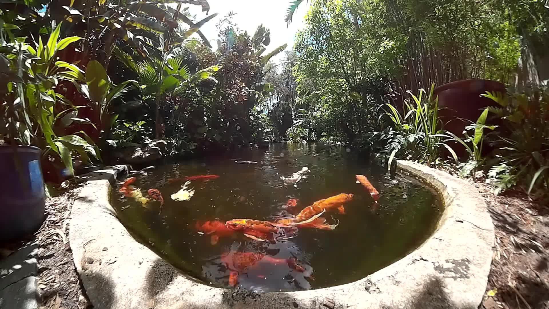 File:Koi - Marie Selby Botanical Gardens - Sarasota, Florida.webm ...