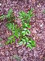 Korina 2011-07-04 Mahonia aquifolium.jpg