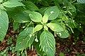 Korina 2013-08-13 Impatiens parviflora 4.jpg