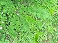 Korina 2014-05-16 Robinia pseudoacacia.jpg