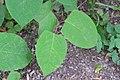 Korina 2015-06-21 Fallopia japonica 3.jpg