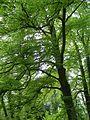Kornik Arboretum buk zwyczajny odm strzepolistna 1.jpg