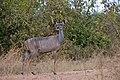 Kudu, Ruaha National Park (7) (29023808845).jpg
