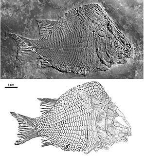 <i>Kyphosichthys</i> Extinct genus of ray-finned fishes