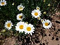 LEUCANTHEMUM VULGARE - SANT JUST - IB-702 (Margarida).JPG