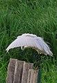 LITTLE EGRET (Egretta garzetta) at Weras Ganga park, Boralasgamuwa.jpg