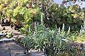 La Palma - Villa de Mazo - Camino Monte de Pueblo - Molino de Mazo - Garden 03 ies.jpg
