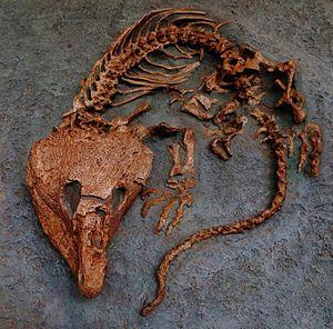 Labidosaurus - Labidosaurus hamatus fossil