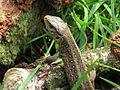 Lacerta agilis (Sand lizard), Mook, the Netherlands.jpg