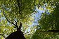 Landschaftsschutzgebiet Gütersloh - Isselhorst - Wald an der Lutter - Blick nach oben (1).jpg