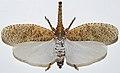 Lanternfly (Zanna terminalis) (8349713261).jpg