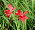 Lapeirousia laxa kz1.JPG