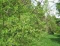 Larix sibirica, Arnold Arboretum - IMG 6126.JPG