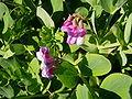 Lathyrus japonicus 1.jpg