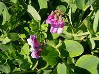 Lathyrus japonicus 1