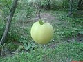 Lavasan apple,Lavasan Bozorg سیب لواسان - panoramio.jpg