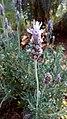 Lavender flower 01.jpg