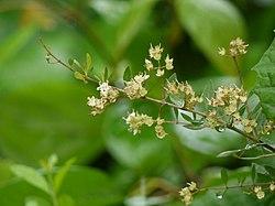 Lawsonia inermis (3709419835).jpg