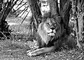 LeÓn Africano (155163369).jpeg