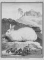Le Lapin d-Angora - Angora Rabbit - Angora francaise - Gallica - ark 12148-btv1b2300253d-f55.png