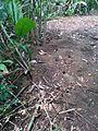 Leaf cutting ants - Flickr - GregTheBusker.jpg