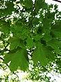 Leaf of Acer platanoides.jpg