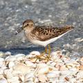 Least Sandpiper (Calidris minutilla) - Sanibel Island, FL, USA 01.png