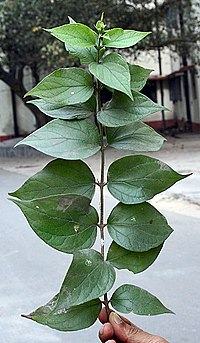 Leaves of the Parijat plant (Nyctanthes arbor-tristis), Kolkata, India - 20070130