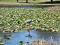 Leesburg FL Venetian Gardens birds06b.jpg