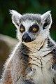 Lemur (27761448338).jpg
