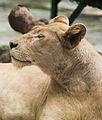 Leona (Panthera leo), Zoo de Ciudad Ho Chi Minh, Vietnam, 2013-08-14, DD 03.JPG
