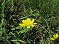 Leontodon saxatilis flowerhead8 NT (16497459326).jpg