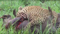 Leopard Killing Warthog Graphic Latest Wildlife Sightings Hd 2.png