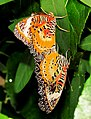 Leopard Lacewings coupled.jpg