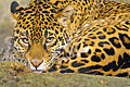 Leopard in a zoo, Milwaukee, Wisconsin.jpg