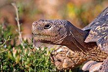 Tortoise wikipedia adult male leopard tortoise south africa publicscrutiny Gallery