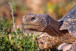Tortoise - Adult male leopard tortoise, South Africa