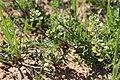 Lepidium auriculatum Regel & Körn (34313407425).jpg