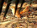 Les oiseaux de Siwa - panoramio.jpg