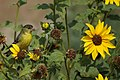 Lesser Goldfinch (13371246974).jpg