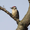 Lesser Spotted Woodpecker (Dendrocopos minor) (8520158755).jpg