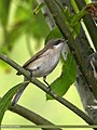 Lesser Whitethroat (Sylvia curruca) (22601821012).jpg